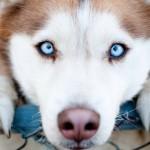 УНИКАЛНО! Вижте как кучета защитават бременните си стопанки! На това се казва ВЯРНОСТ!