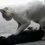 Ще ви потекат сълзи, виждайки как това коте се опитва да съживи своя приятел… (ВИДЕО)