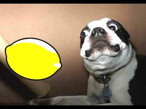 КИСЕЛО! Вижте как реагират кучетата, когато за пръв път опитват лимон! СМЯХ! (ВИДЕО)