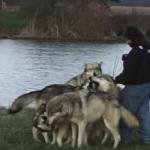 Глутница вълци приближават този фотограф. Случилото се след това ще ви изуми (ВИДЕО)