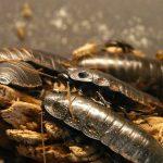 Боракс и захар – ефективно средство срещу хлебарки