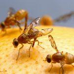 Плодови мушици – как да се отървем от тях?